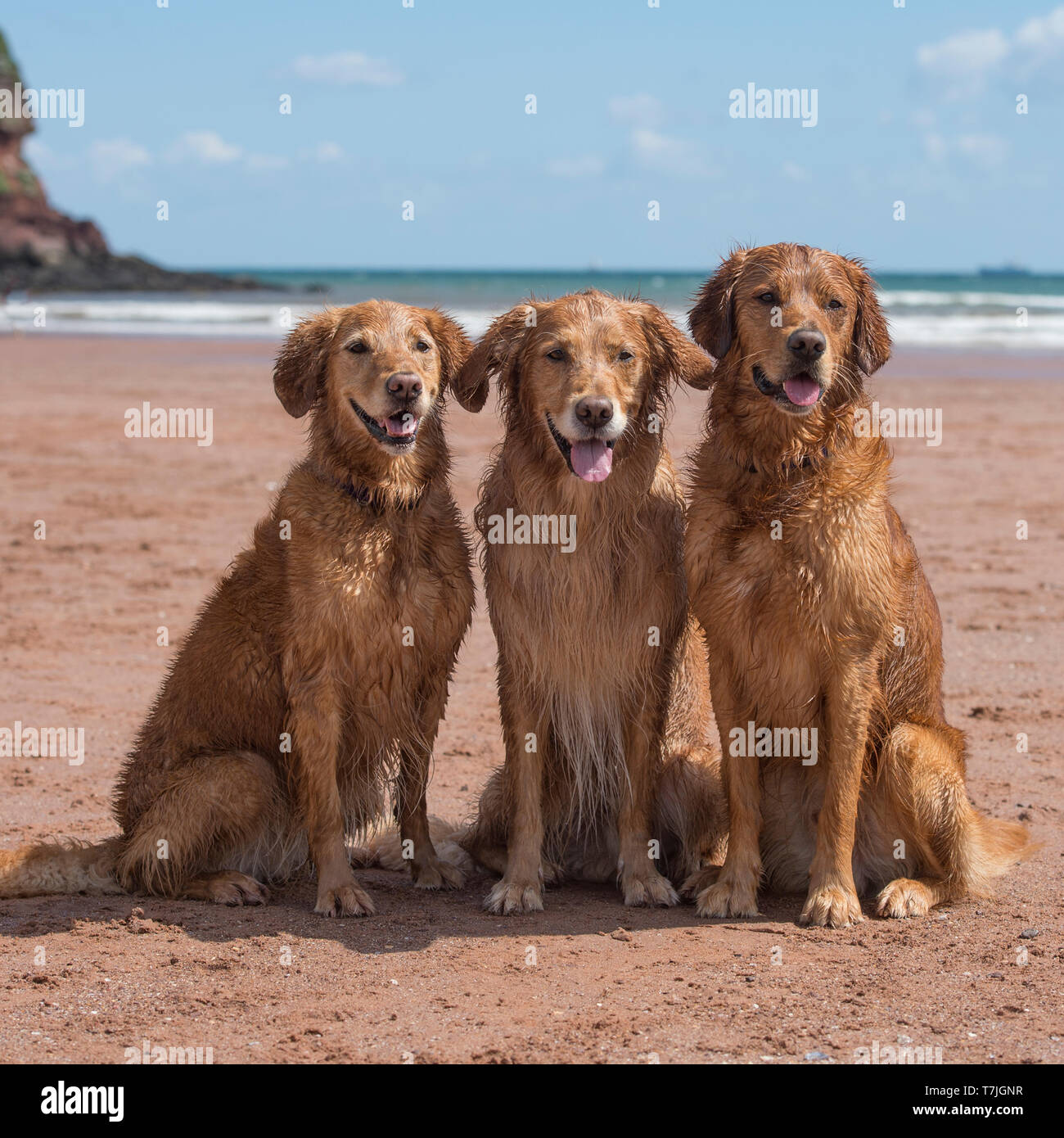 three golden retrievers on the beach - Stock Image
