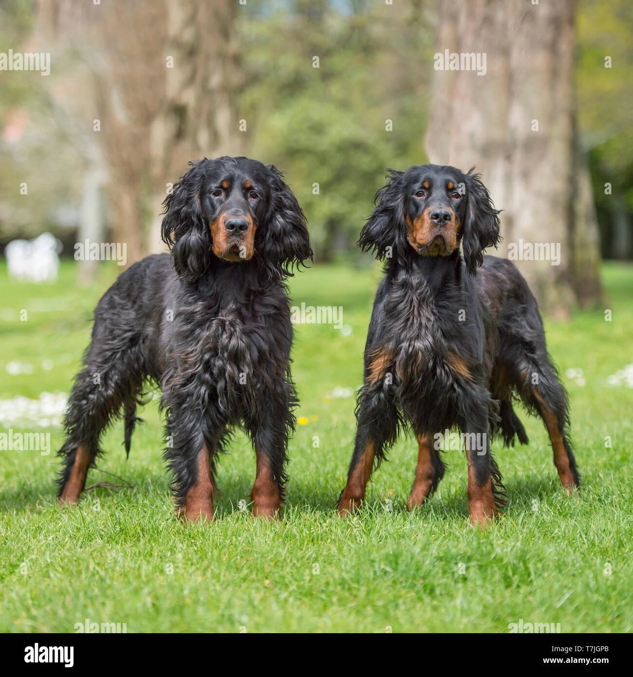 two gordon setter dogs - Stock Image