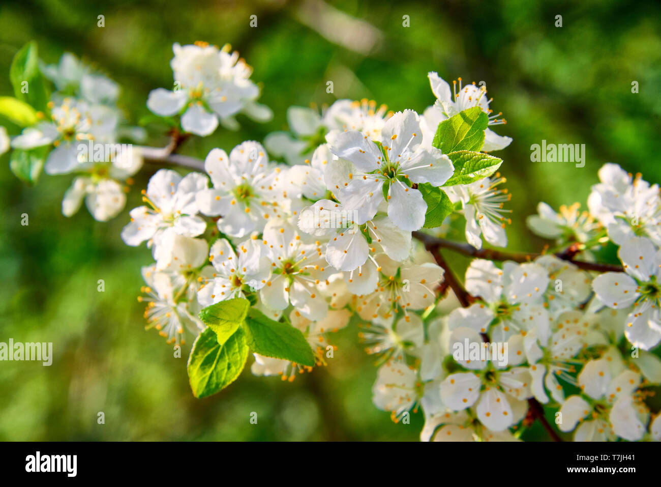 The branches of a blossoming tree. Cherry tree in white flowers. Blurring background. - Stock Image