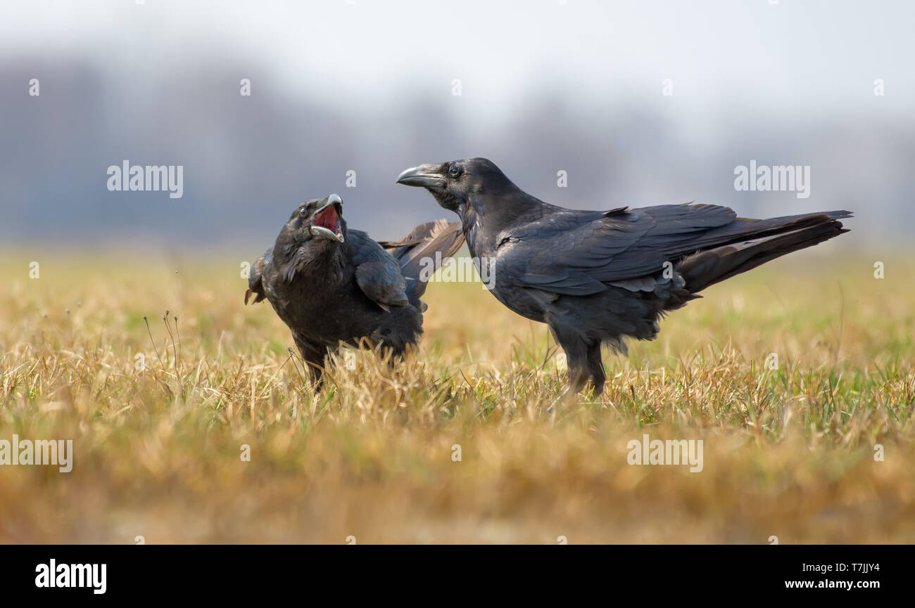 Common ravens interactions - asking for some treatment with wide open beak - Stock Image