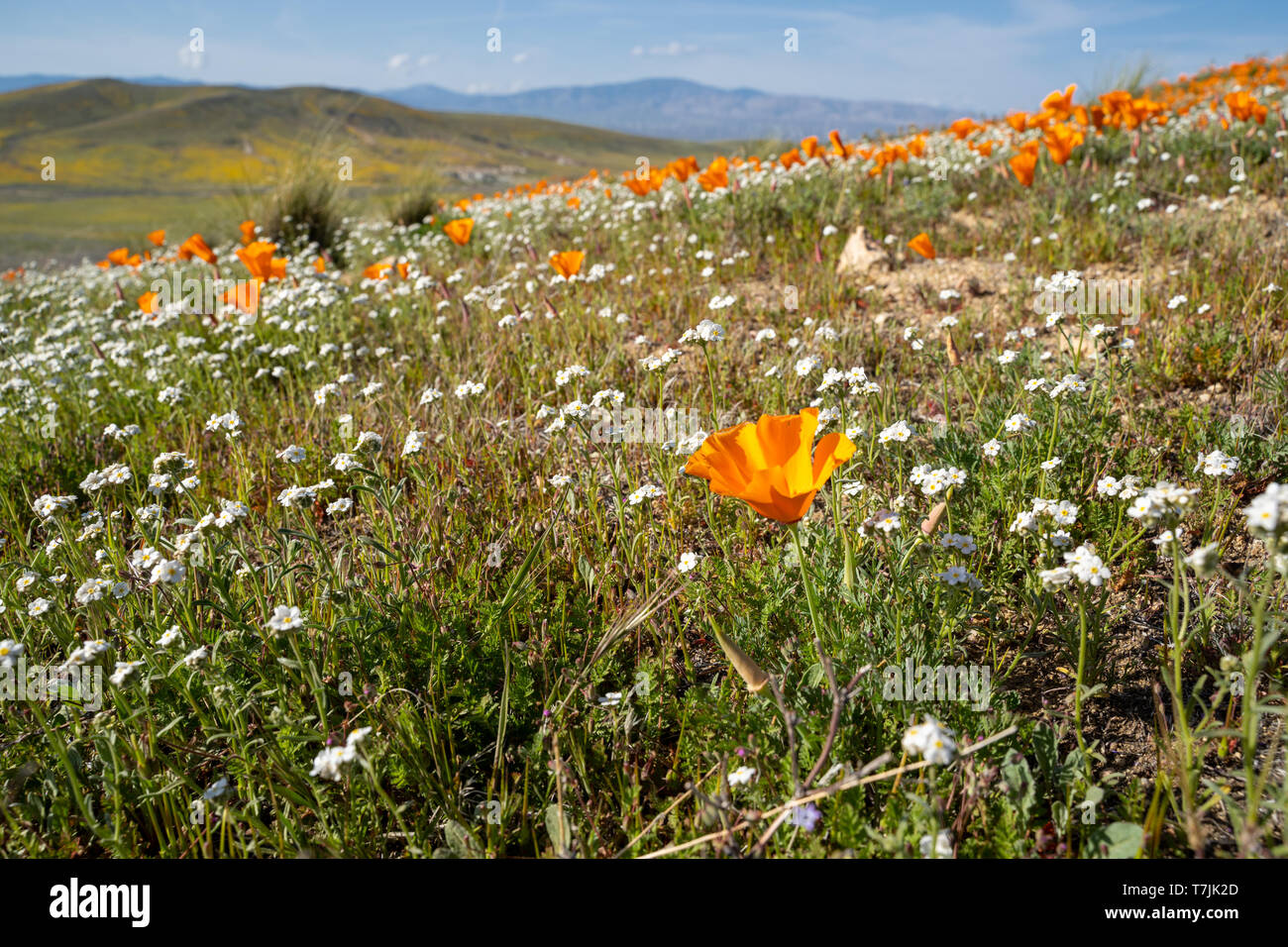Poppies and white flowers in California during the superbloom spring - Stock Image