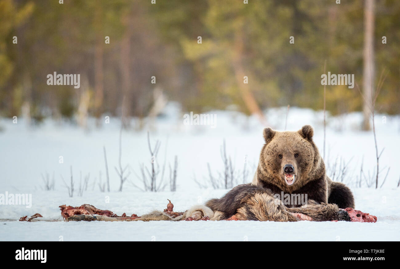 Brown bear awoke from hibernation,  eats the moose's corpse. A brown bear in the  forest. Adult Big Brown Bear Male. Scientific name: Ursus arctos. - Stock Image