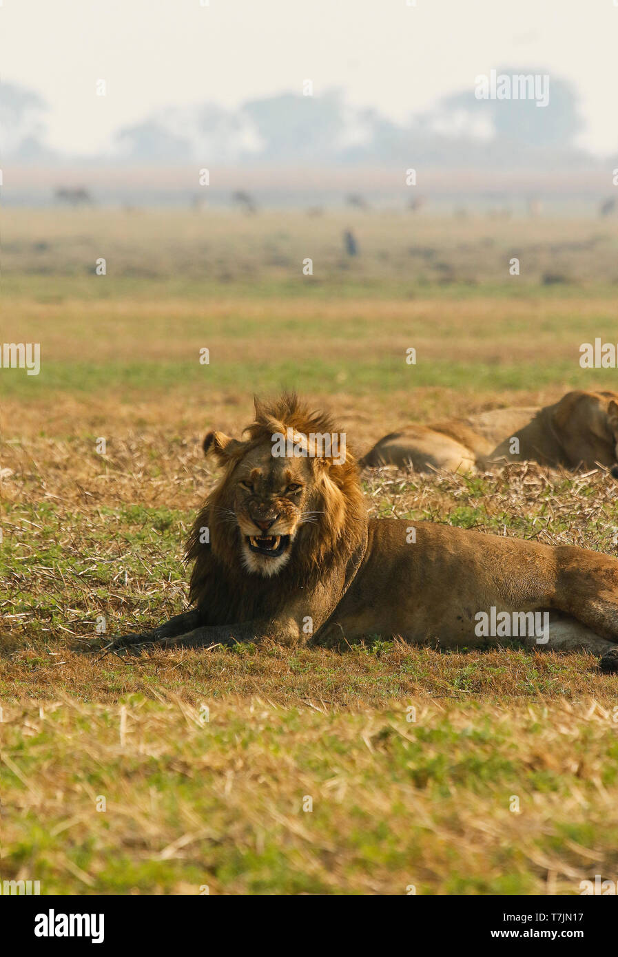 Male lion in Busanga Plains. Kafue National Park. Zambia - Stock Image