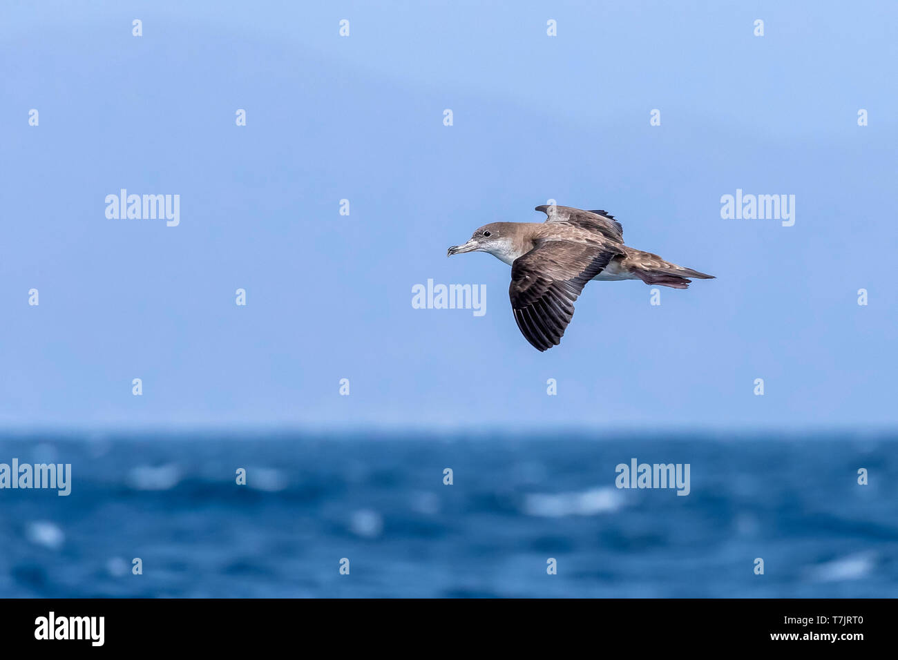 Shearwater Stock Photos & Shearwater Stock Images - Page 5