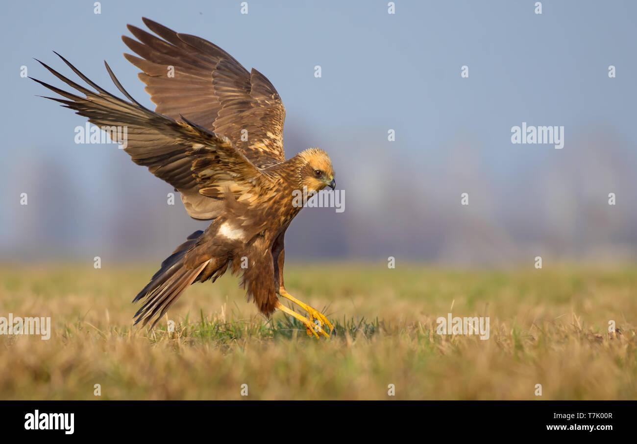 Western Marsh Harrier speedy flight over spring field Stock Photo