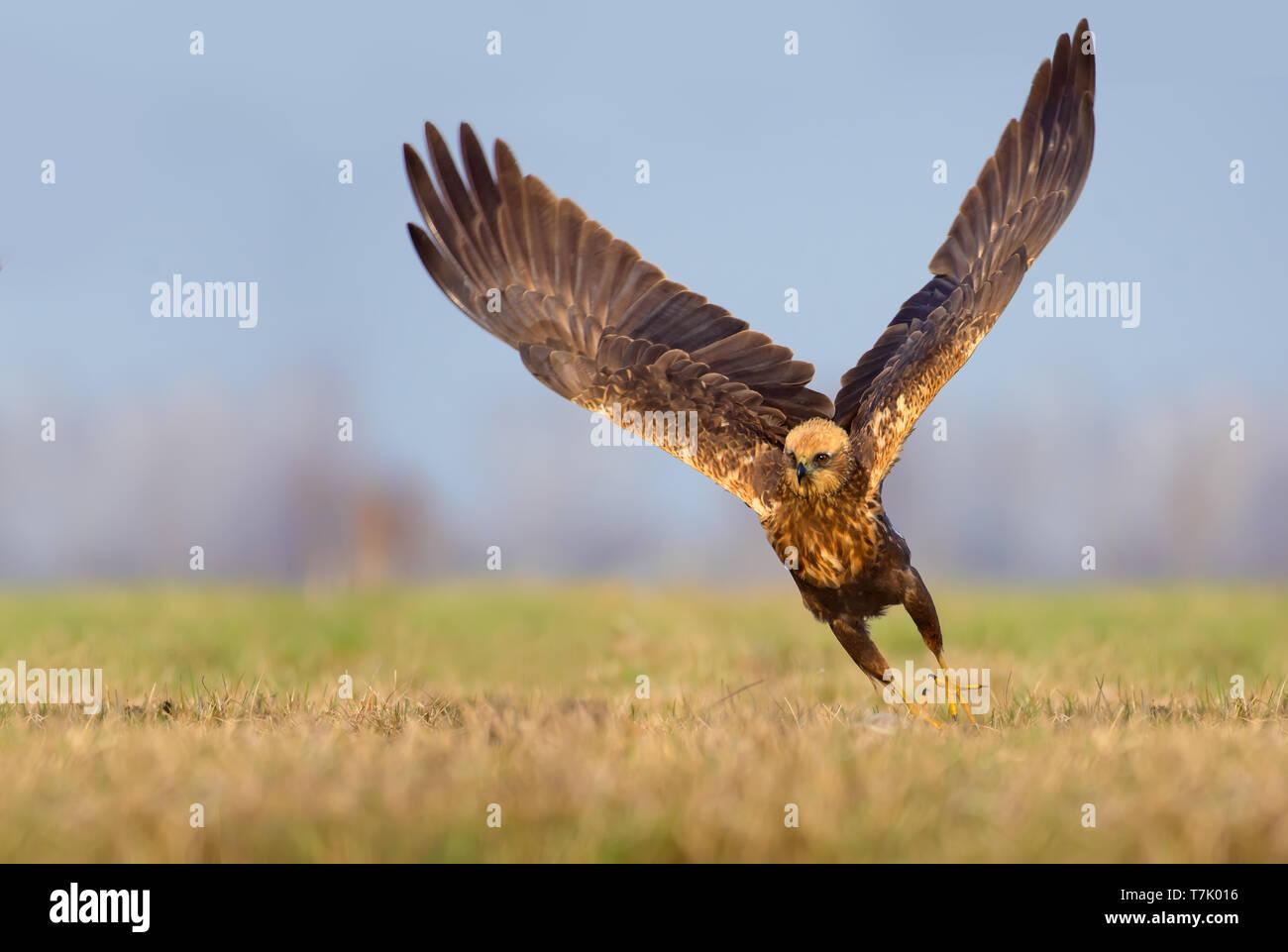 Western Marsh Harrier speedy take off with entire wingspread Stock Photo