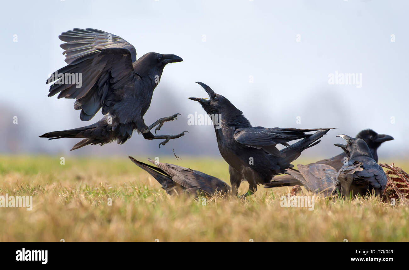 Common ravens interactions – hard fight between two birds for carrion - Stock Image
