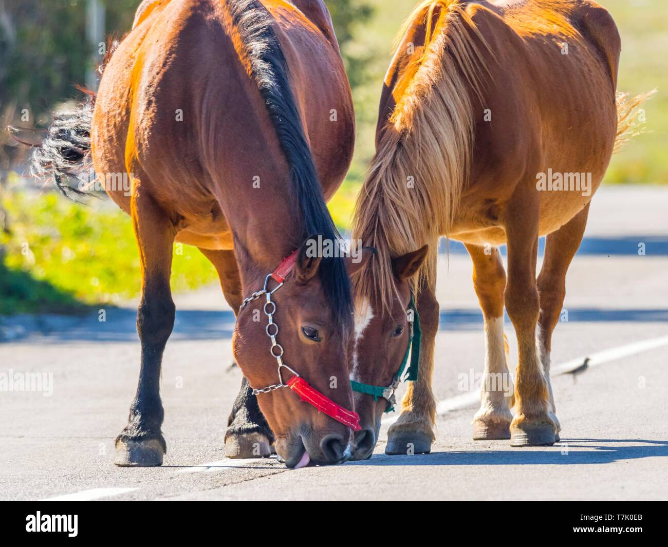 Horses are licking residual salt on road Stock Photo