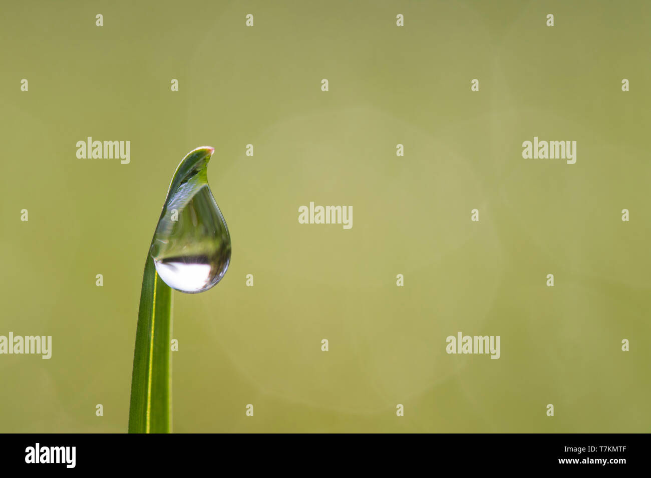 Close-up of dewdrop hanging from blade of grass / grass halm in grassland / meadow - Stock Image