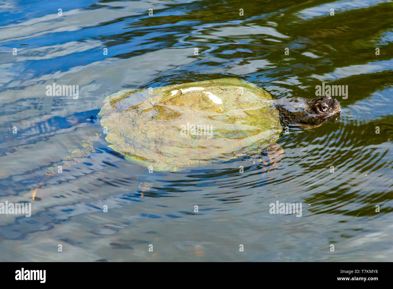 Common snapping turtle (Chelydra serpentina) in canal - Robbins Preserve, Davie, Florida, USA - Stock Image