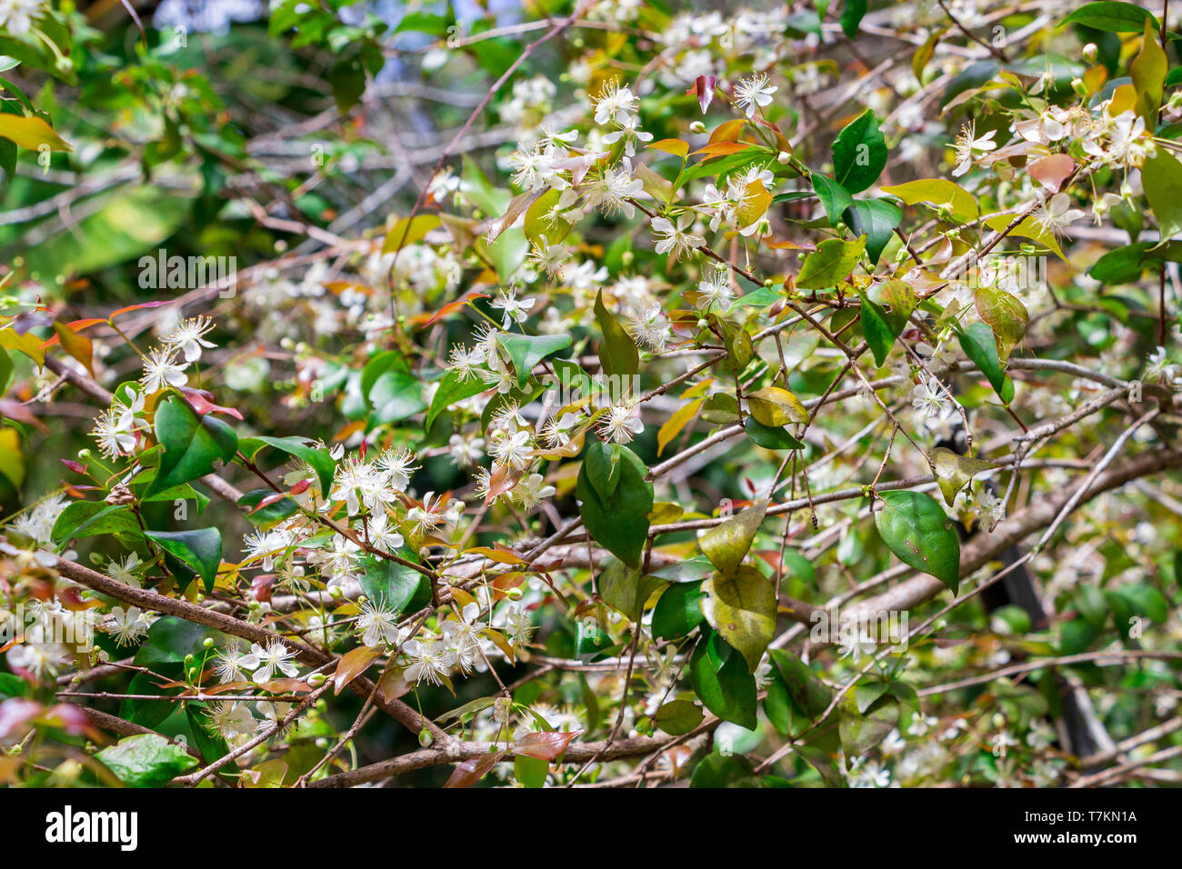 Suriname cherry (Eugenia uniflora) white flowers - Long Key Natural Area, Davie, Florida, USA - Stock Image