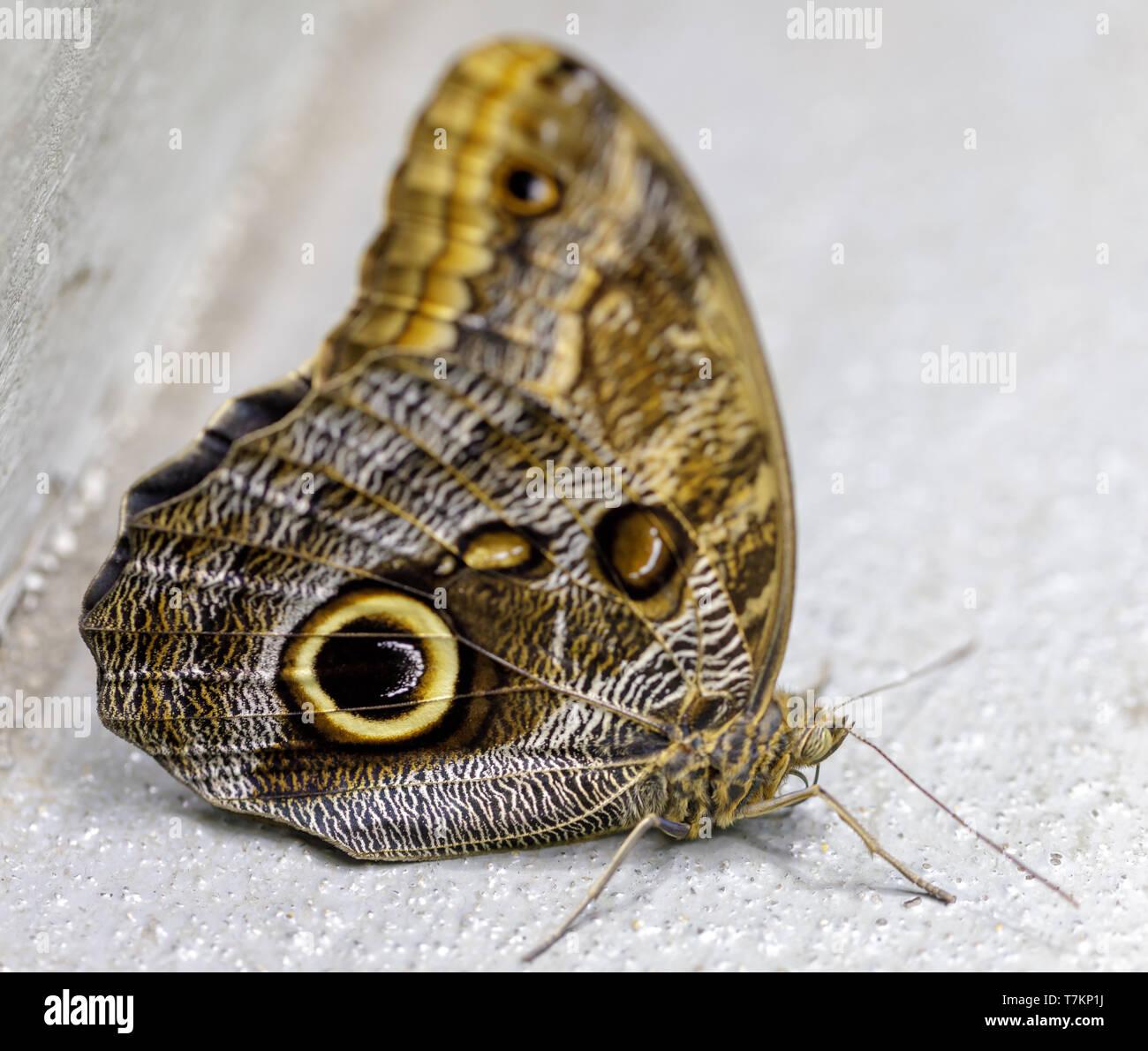 Owl butterfly (Caligo memnon) isolated. - Stock Image