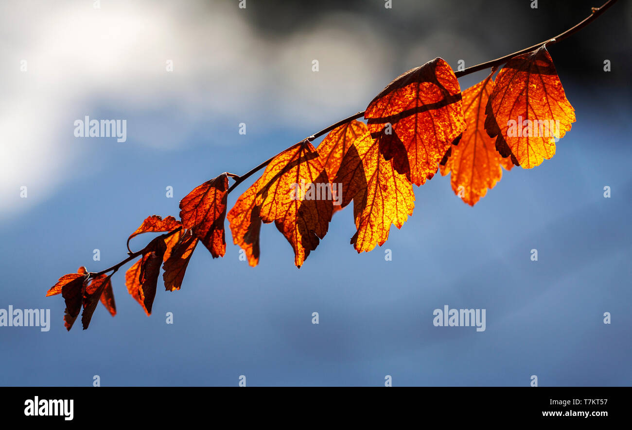 autumn branch with red leaves on cloudy sky background - Stock Image