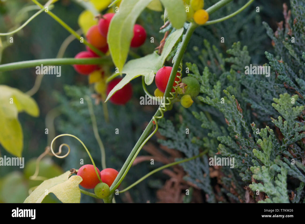 Bryonia dioica, known by the common names red bryony and white bryony - Stock Image