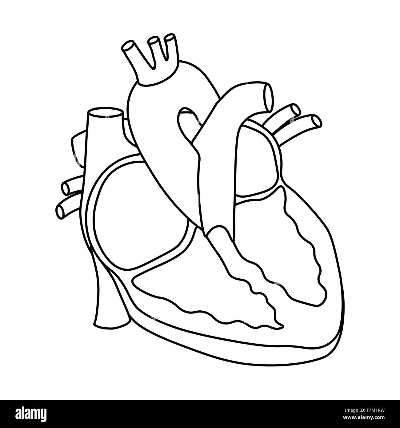 Human Circulatory System Stock Photos Human Circulatory System
