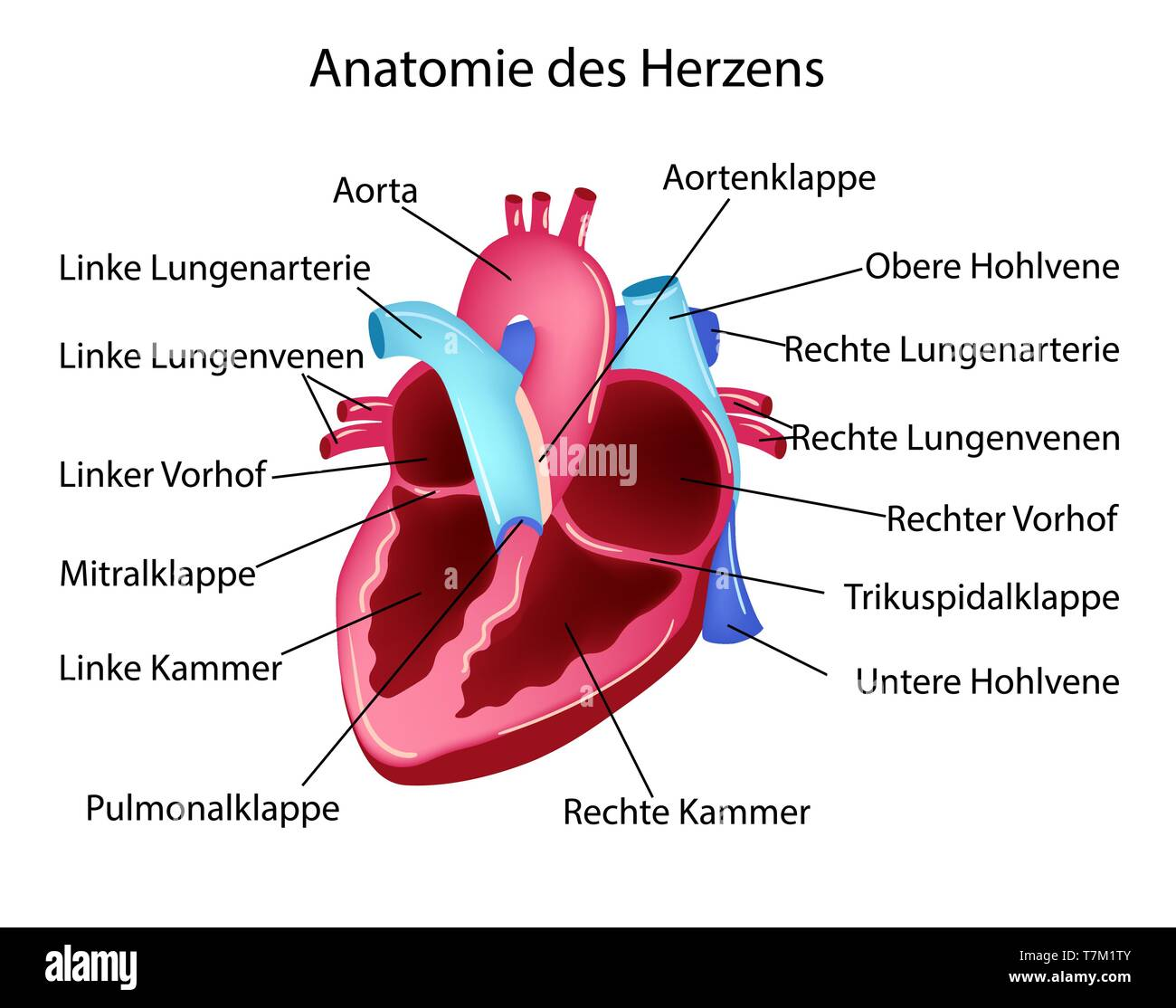 Vector illustration in german language with medical structure of heart - Stock Image