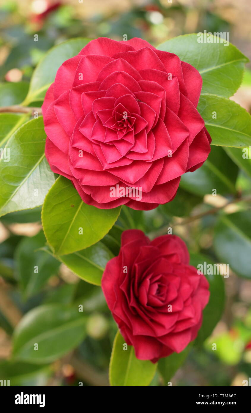 Camellia Japonica Roger Hall camellia japonica 'roger hall', a double bloom form in early