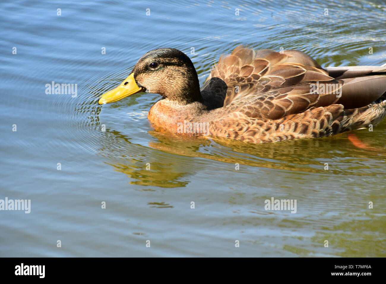 Wild duck on the water. Extremely close up telescopic lens. Beautiful sunny day. - Stock Image