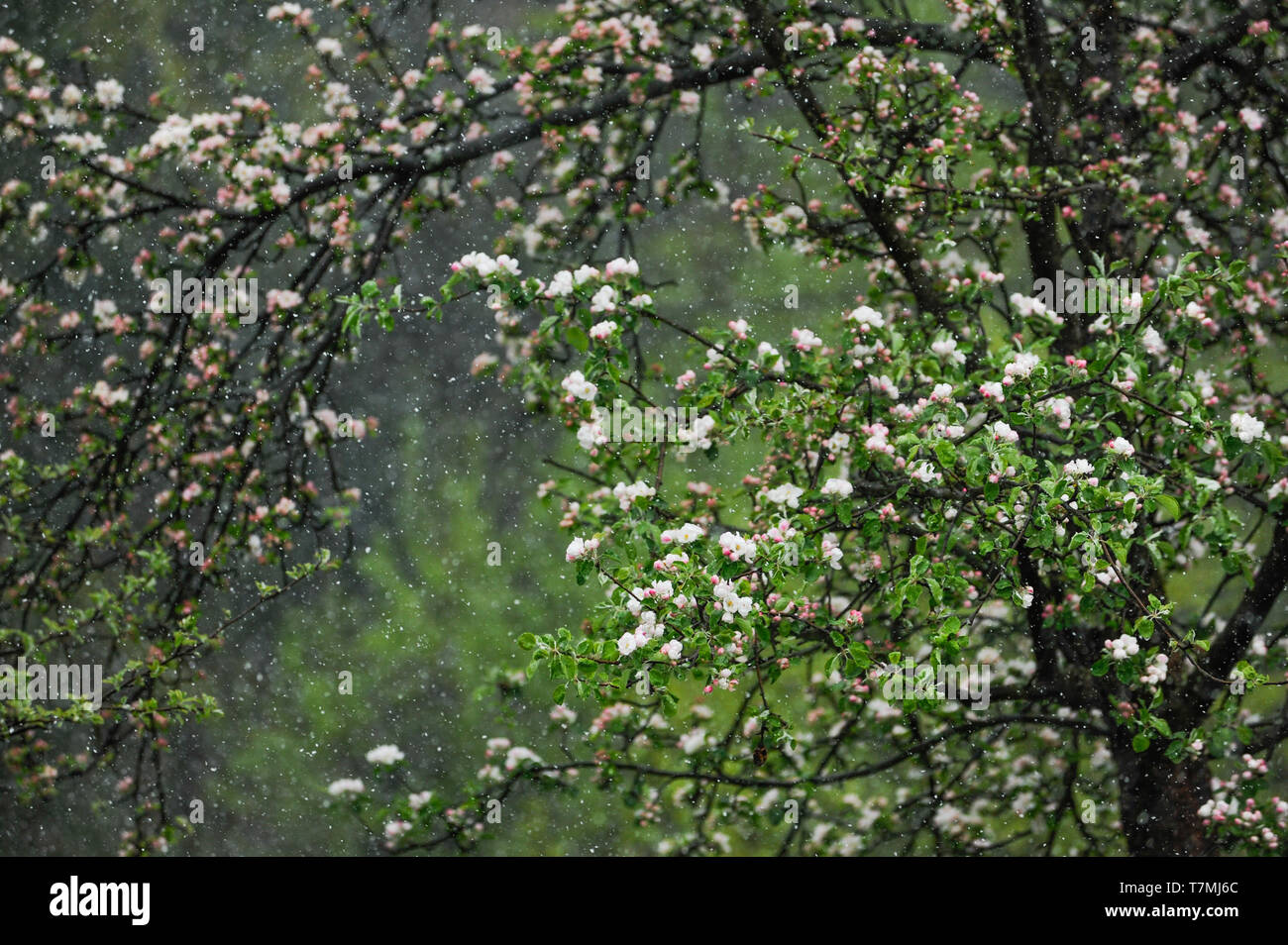 Snow Falling on Blooming Tree. Springtime in Central Europe. - Stock Image