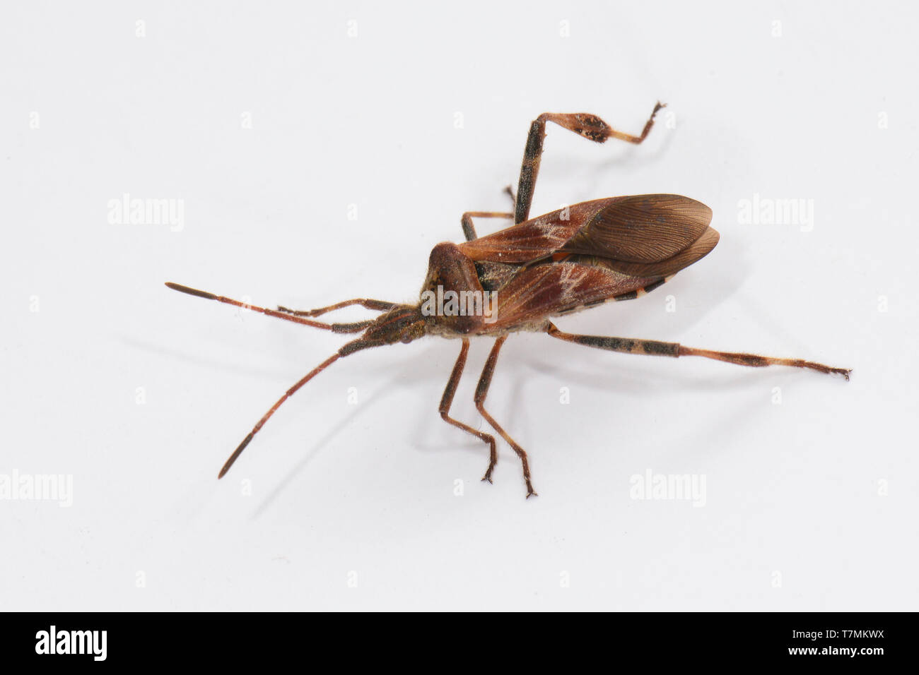 Western Conifer Seed Bug (Leptoglossus occidentalis). Adult isolated on white background. Germany - Stock Image