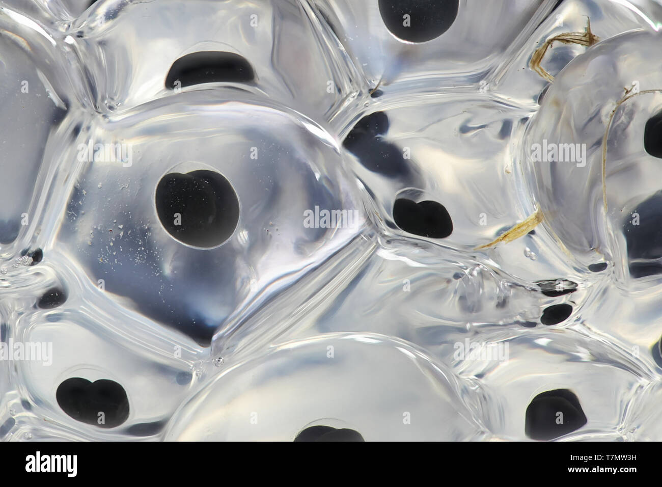 Fresh frog spawn - Stock Image