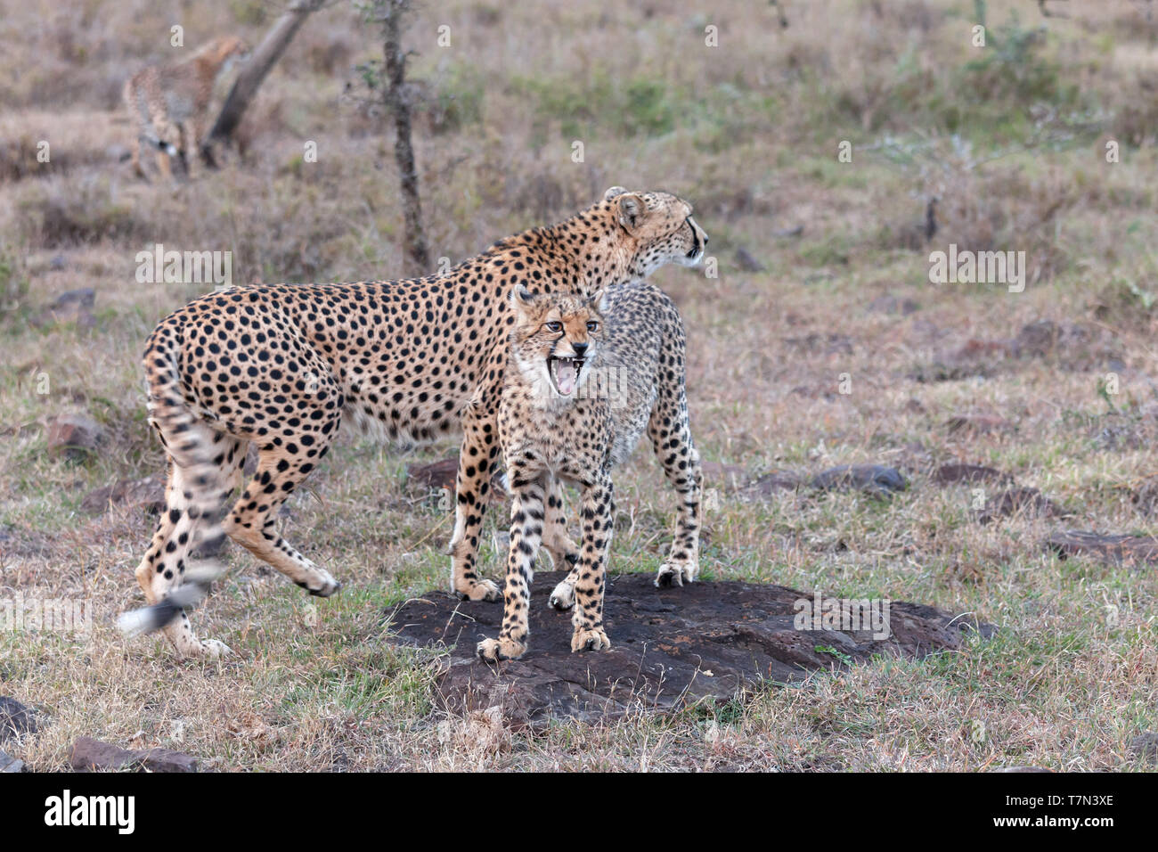 A female cheetah with one of her three cubs standing in open grassland, cub snarling, low light, Ol Pejeta Conservancy, Laikipia, Kenya, Africa - Stock Image