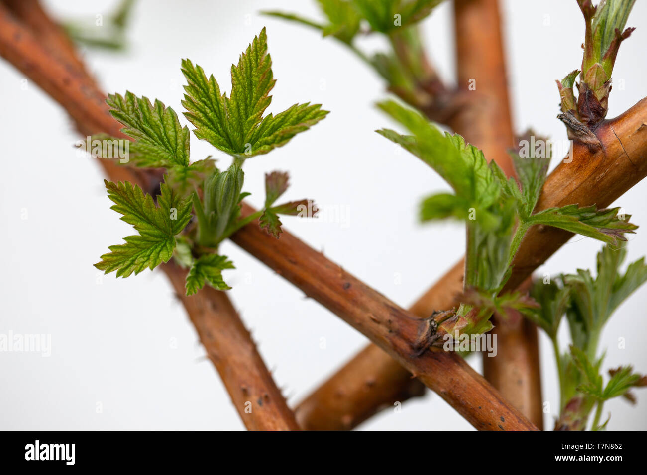 Macro close up picture of fresh growing raspberry leaves in the garden on springtime - Stock Image