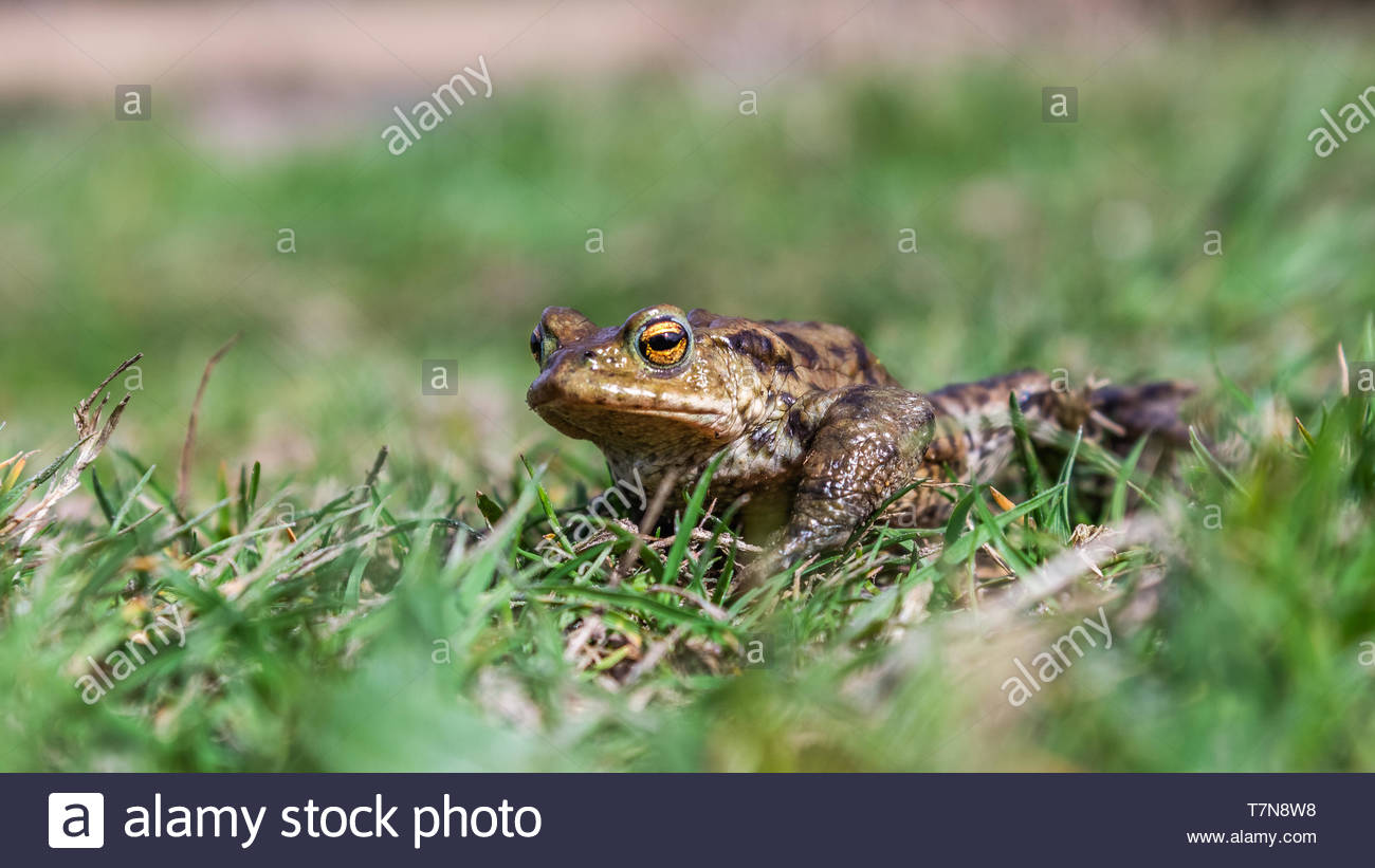 Common frog close up photography - Stock Image