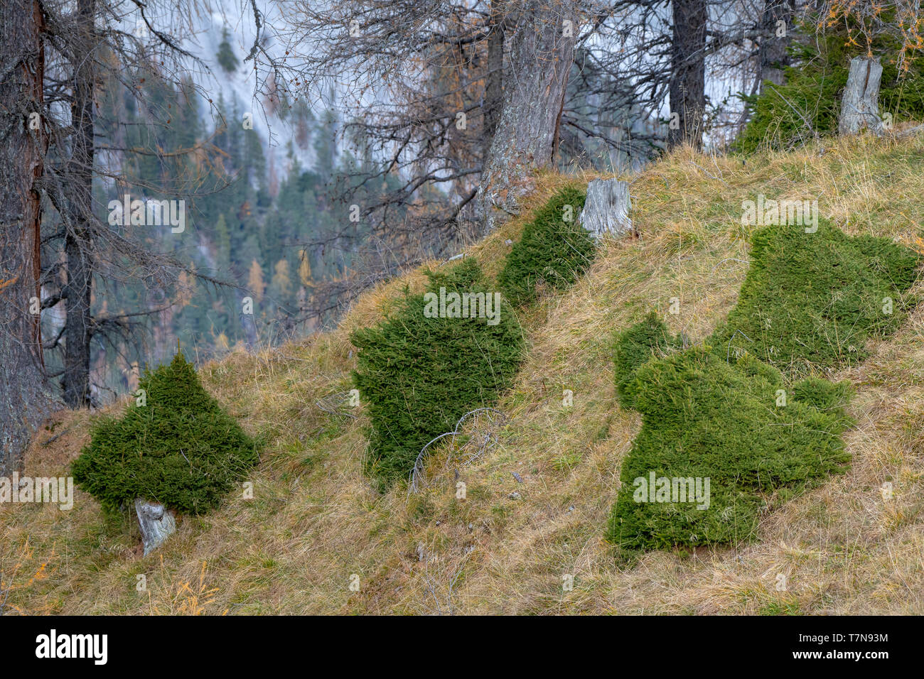 European Red Deer (Cervus elaphus): bite marks on young spruces in the mountain forest. Tyrol, Austria - Stock Image