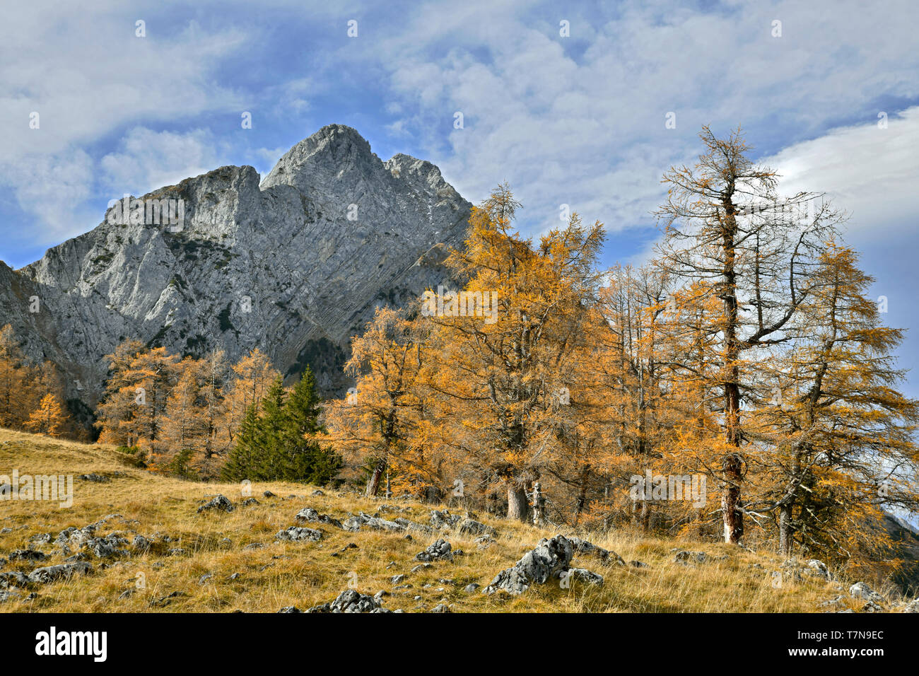 Mountain landscape at the Vomper Joch in autumn: European Larches with the mountain Fiechterspitz in background. Stock Photo