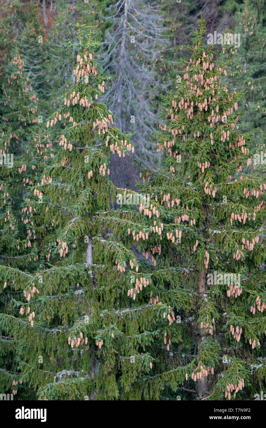 Spruces (Picea abies) in autumn with many cones. Austria - Stock Image