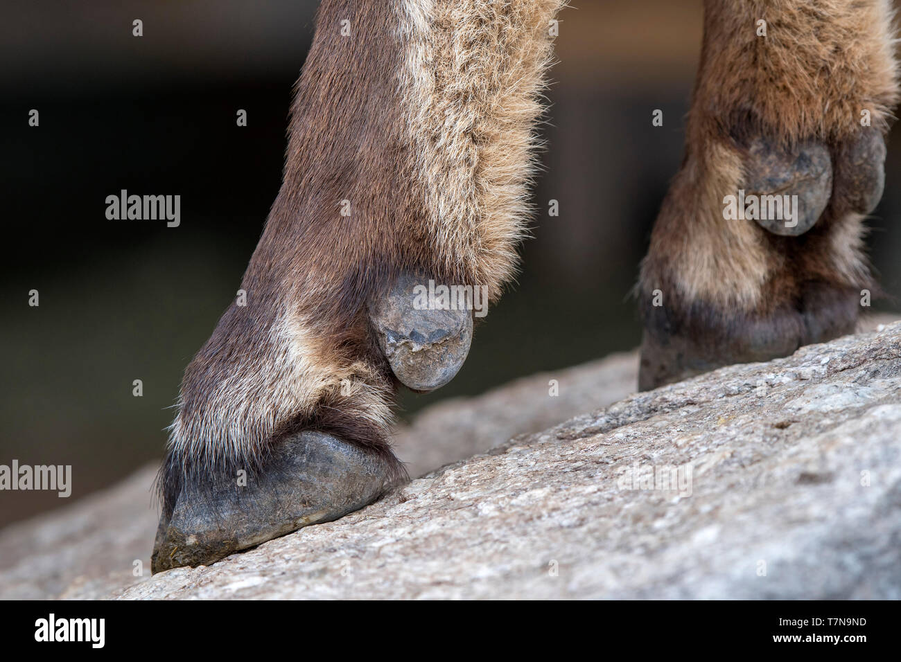 Alpine Ibex (Capra ibex)- Close-up of front legs and hooves. Austria - Stock Image