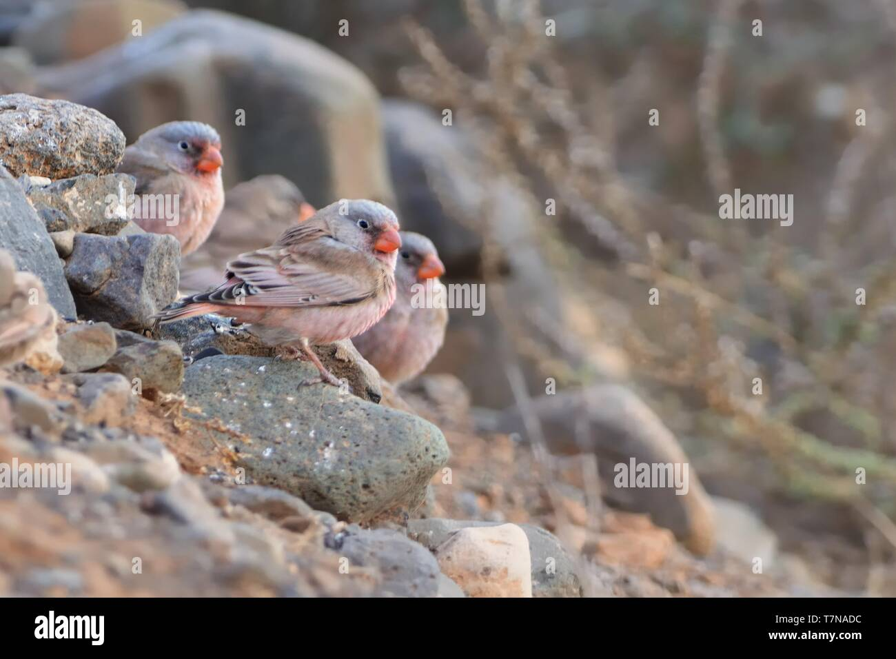 Flog of Trumpeter Finches - Bucanetes githagineus sitting on the rock, beautiful pink and gey song bird living in deserts and semi-deserts of the nort - Stock Image