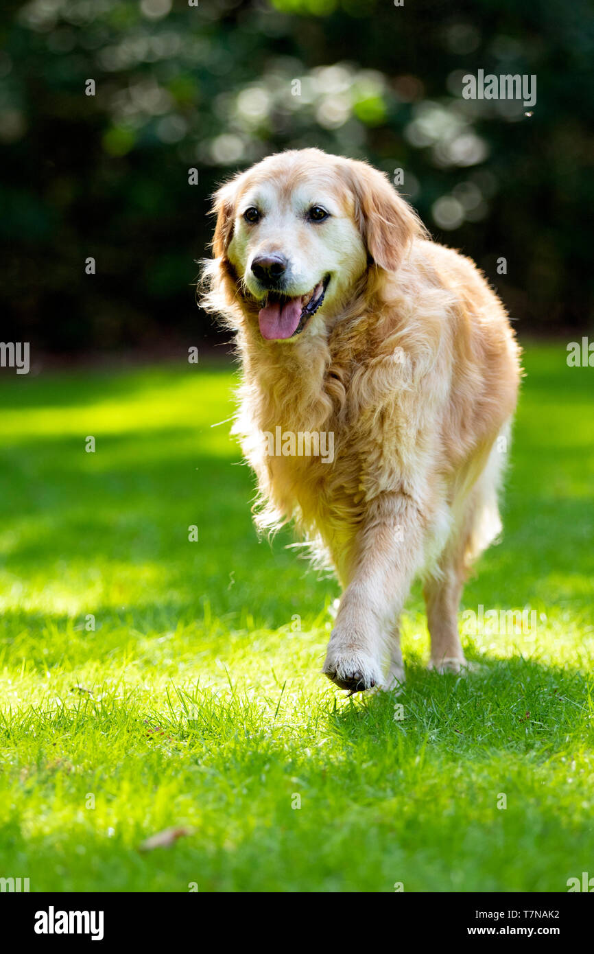 Old golden retriever walking actively/enthousiasticly, Netherlands - Stock Image