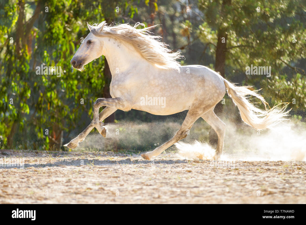 Lusitano. Dapple grey adult horse galopping in a paddock. Portugal - Stock Image