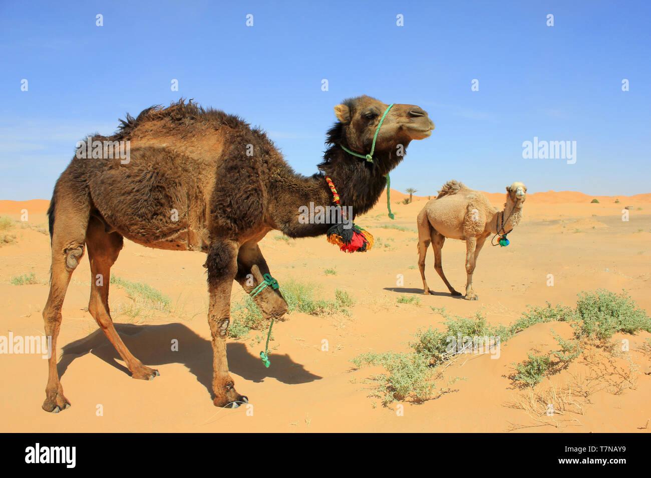 Camels in Sahara Desert, Merzouga, Morocco - Stock Image