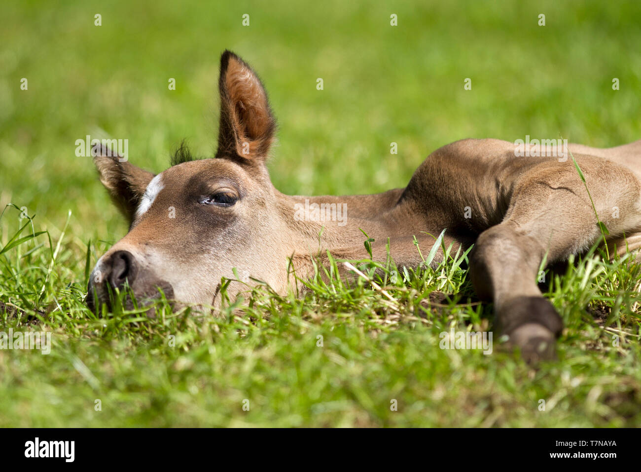 Buckskin NRPS foal lying down and enjoying the sun in the meadow. Noord-Holland/Netherlands - Stock Image