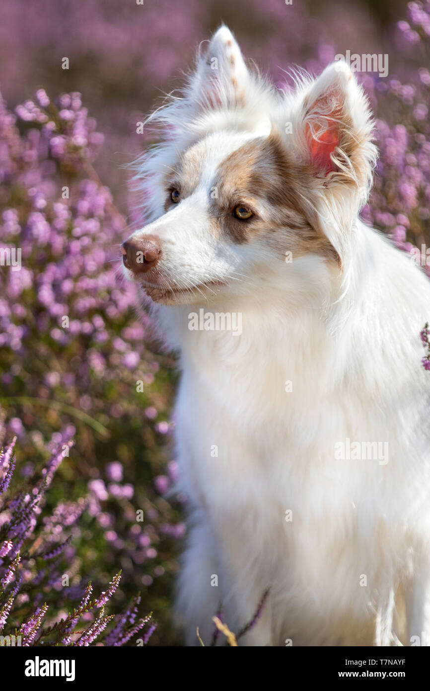 Healthy double red merle Border Collie with heather background. Double merle dogs often have health issues - Stock Image