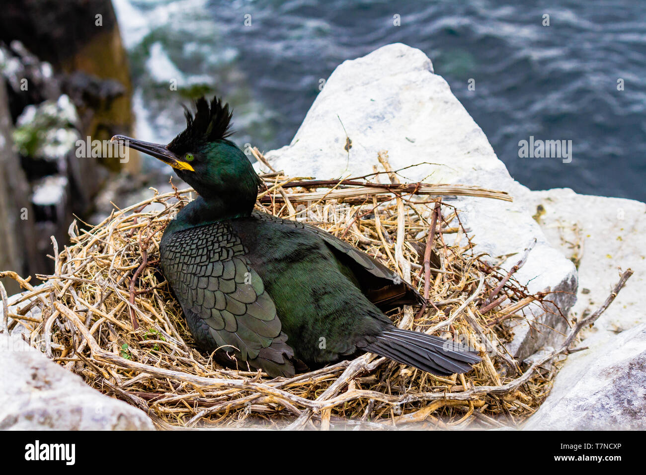 The Common Shag, a species of cormorant, on a nest during the spring breeding season on the Farne Islands, Northumberland, UK. May 2018. - Stock Image