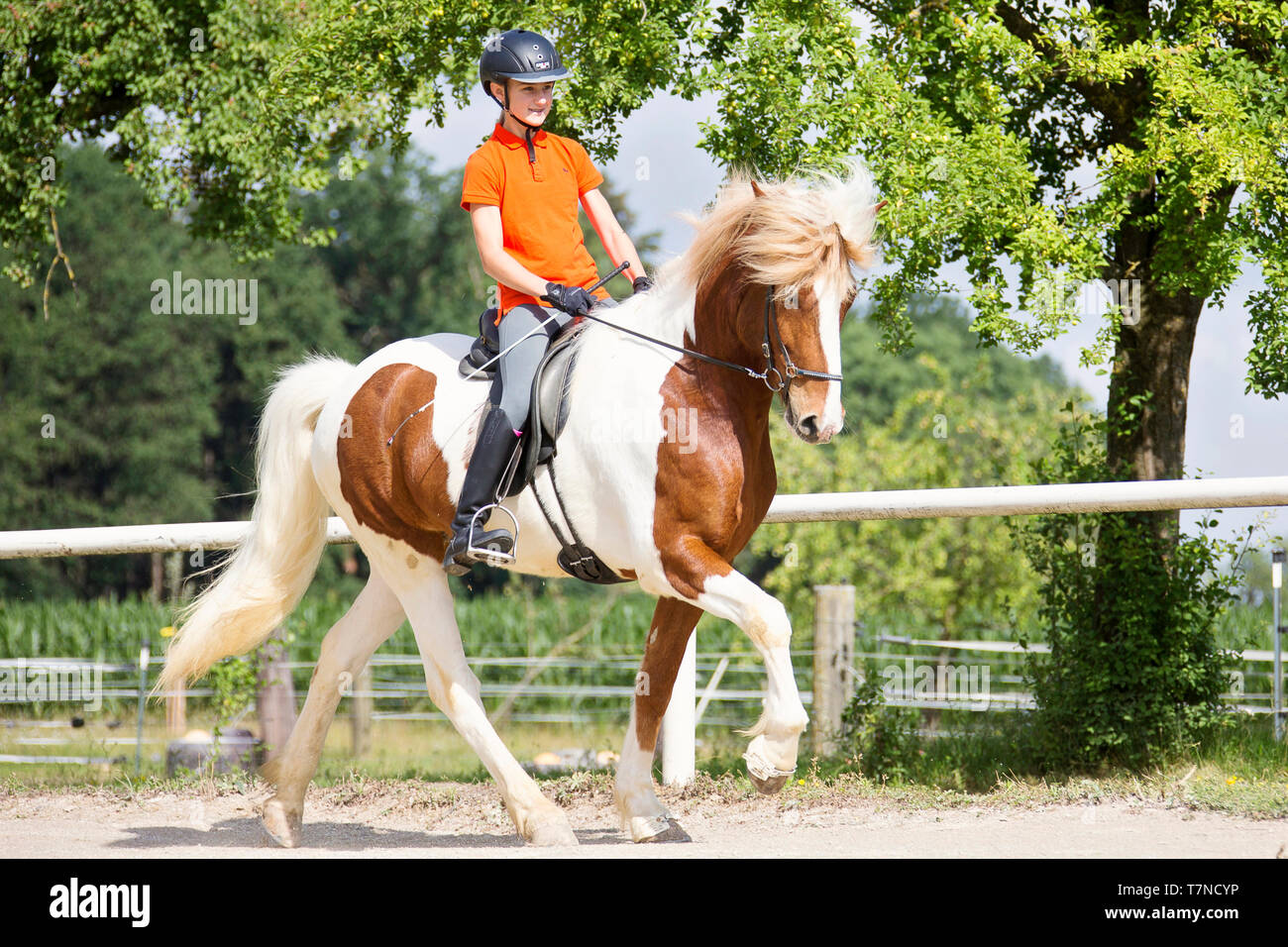 Icelandic Horse being ridden at a toelt. Austria - Stock Image