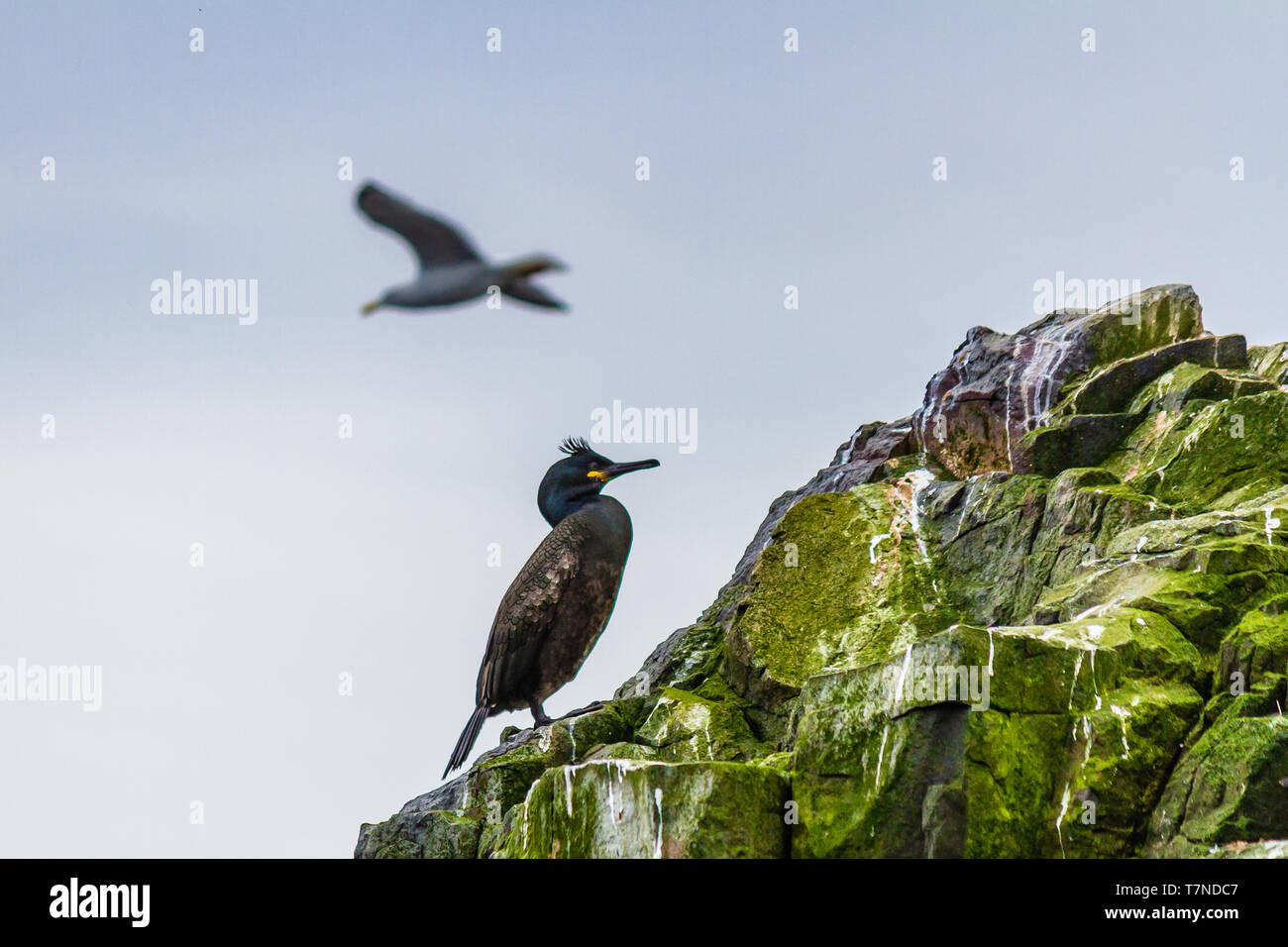 A Common or European Shag standing alone on a rock on the Farne Islands, Northumberland, UK. May 2018. - Stock Image