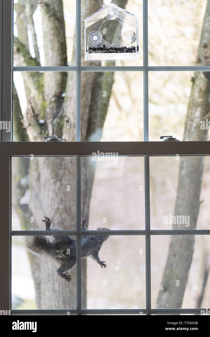 One hungry intelligent squirrel climbing on window screen