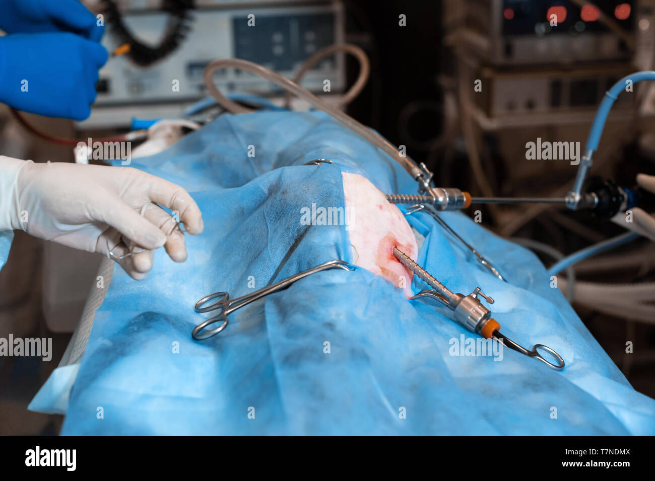 Vet doing the operation for sterilization. The cat on the operating table in a veterinary clinic. Cat in a veterinary surgery , the uterus and ovaries - Stock Image