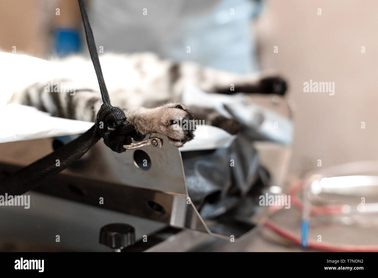 cat under general anesthesia on the operating table. Pet surgery. - Stock Image