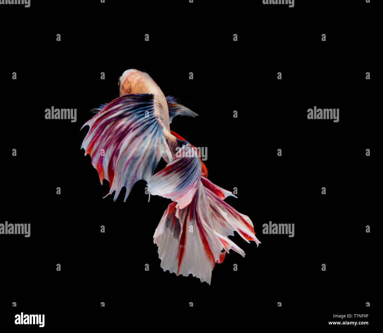Multi-color betta fish, siamese fighting fish on black background - Stock Image