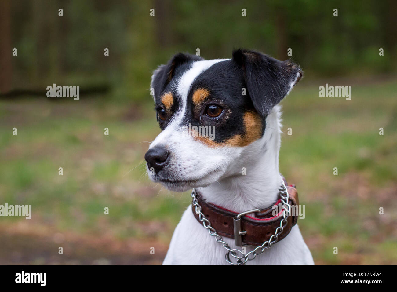Parson Russell Terrier High Resolution Stock Photography And Images Alamy