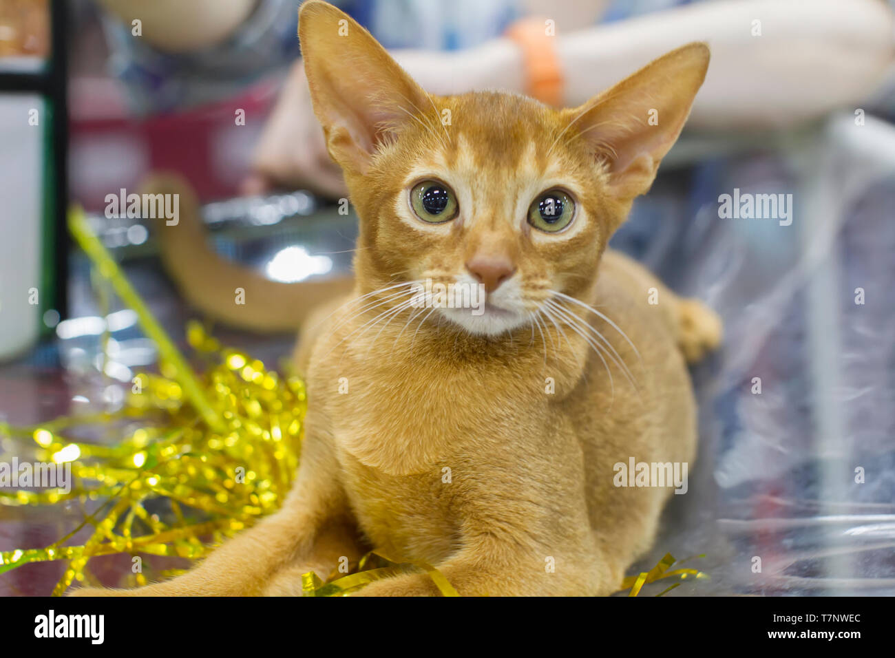 Ginger kitten with green eyes and big ears Stock Photo