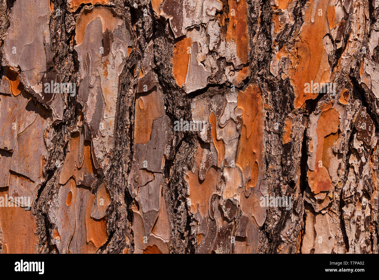 Detail of Maritime Pine bark with rough surface as background - Stock Image