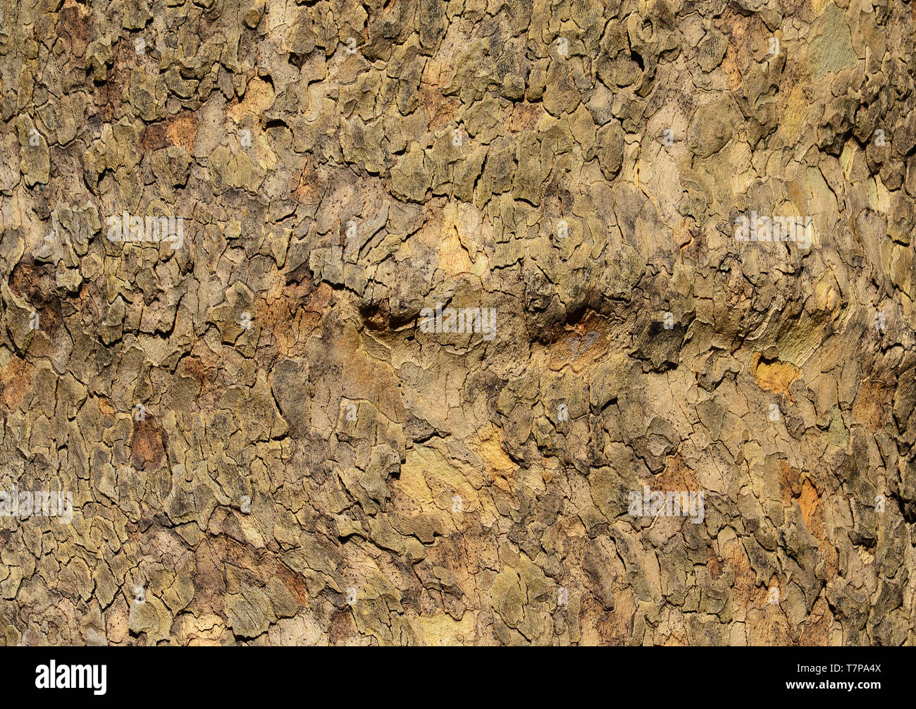 Trident Maple bark rough surface as background - Stock Image