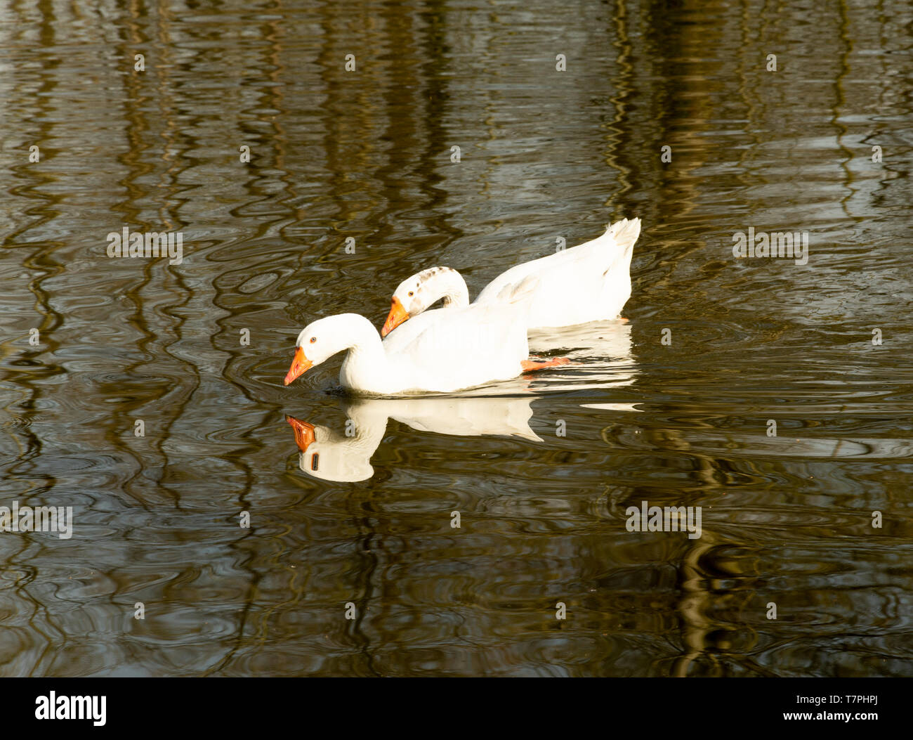 Two geese peaceful floating on the water - Stock Image